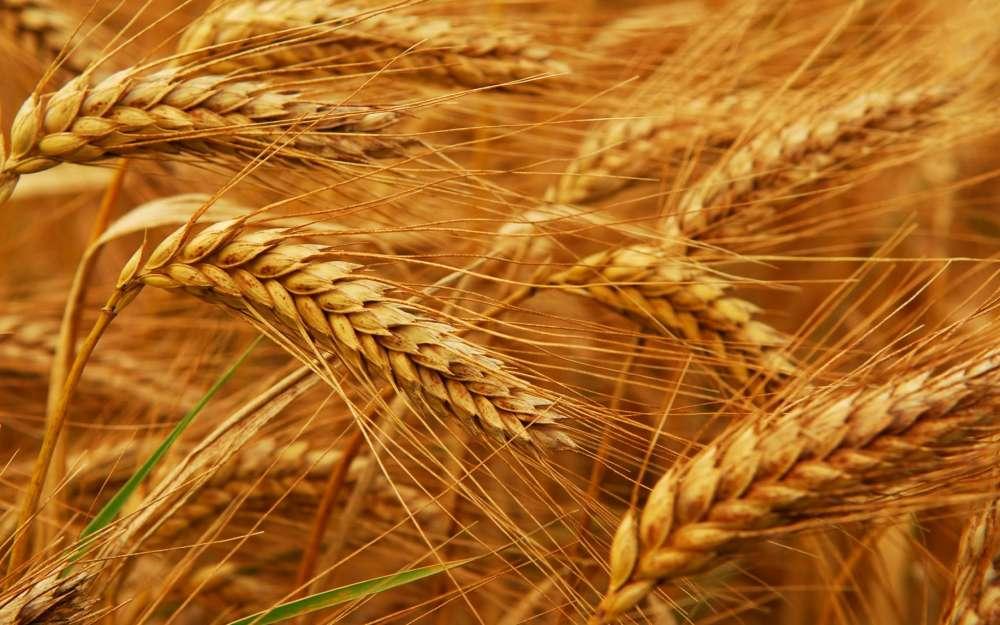 делаем брагу из пшеницы
